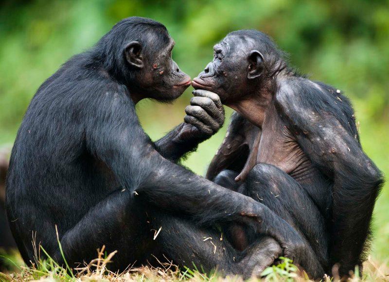Bonobo DNA