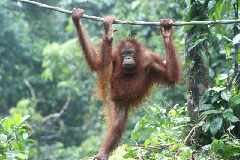 Orangutan DNA